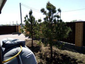 Посадка саженцев деревьев крупномеров